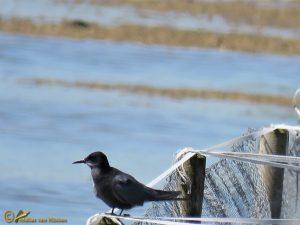 Zwarte Stern – Chlidonias-niger