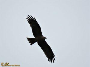 Zwarte Wouw - Milvus migrans