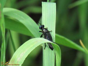 Zwarte bladjager - Dioctria atricapilla