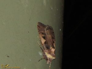 Zwarte-c-uil - Xestia c-nigrum