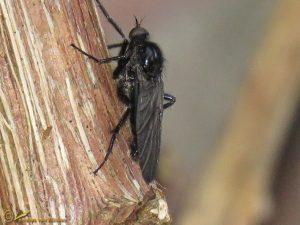 Zwarte dansvlieg - Empis ciliata ♂️