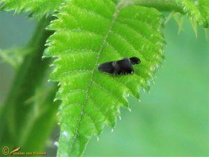 Zwarte eikenbladroller - Strophedra nitidana