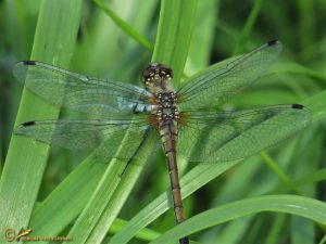 Zwarte heidelibel - Sympetrum danae ♀️