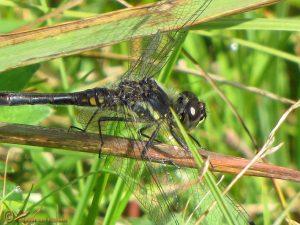 Zwarte heidelibel - Sympetrum danae ♂️