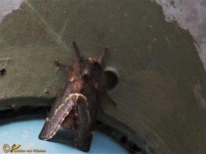 Zwarte herfstspinner - Poecilocampa populi