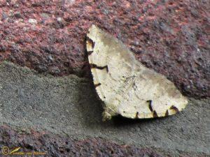 Zwarte-w-vlinder - Macaria wauaria