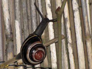 Zwartgerande tuinslak - Cepaea nemoralis