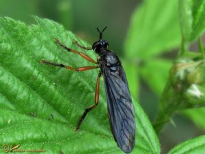 Zwartvlerkbladjager - Dioctria oelandica