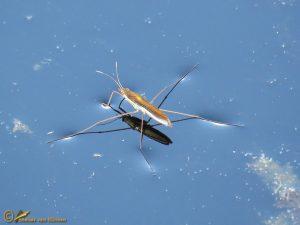 Zwervende schaatsenrijder - Limnoporus rufoscutellatus