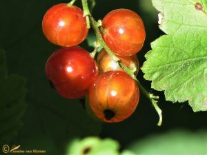 Aalbes – Ribes rubrum