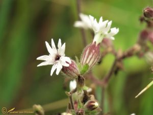 Avondkoekoeksbloem – Silene latifolia