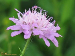 Beemdkroon - Knautia arvensis