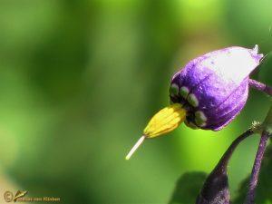Bitterzoet – Solanum dulcamara