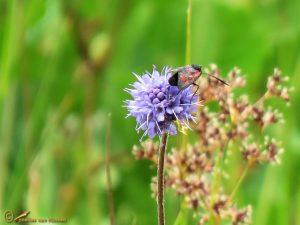 Blauwe knoop - Succisa pratensis