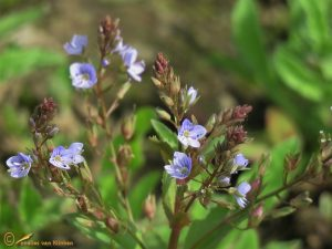 Blauwe waterereprijs - Veronica anagallis-aquatica