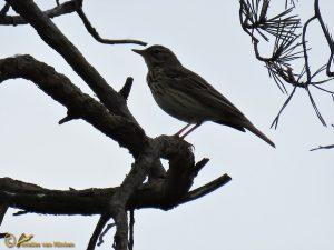 Boompieper - Anthus trivialis