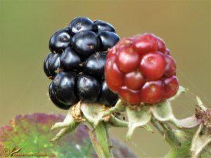 Braam spec. - Rubus spec.