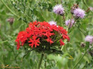 Brandende liefde – Silene chalcedonica