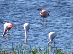 Chileense Flamingo - Phoenicopterus chilensis