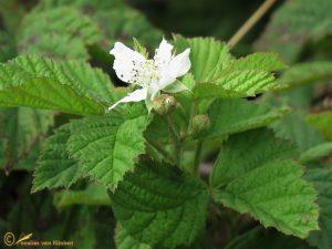 Dauwbraam – Rubus caesius
