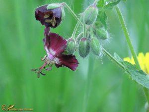 Donkere ooievaarsbek – Geranium phaeum