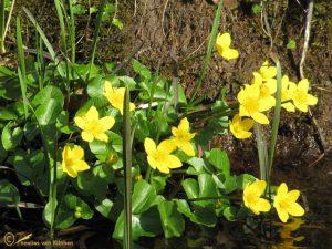Dotterbloem - Caltha palustris