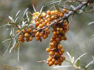 Duindoorn - Hippophae rhamnoides