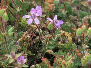 Duinreigersbek – Erodium cicutarium subsp. dunense