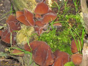Echt Judasoor – Hirneola auricula judae
