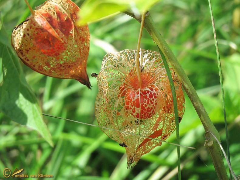Echte lampionplant – Physalis alkekengi