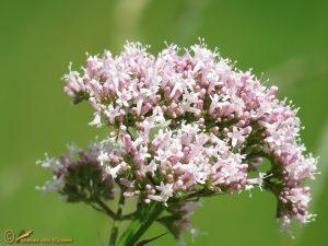 Echte valeriaan - Valeriana officinalis