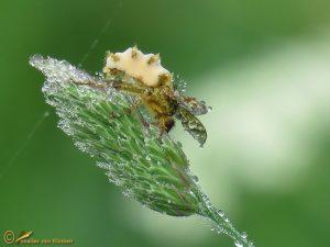 Entomophthora muscae