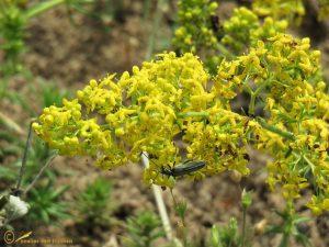 Geel walstro - Galium verum