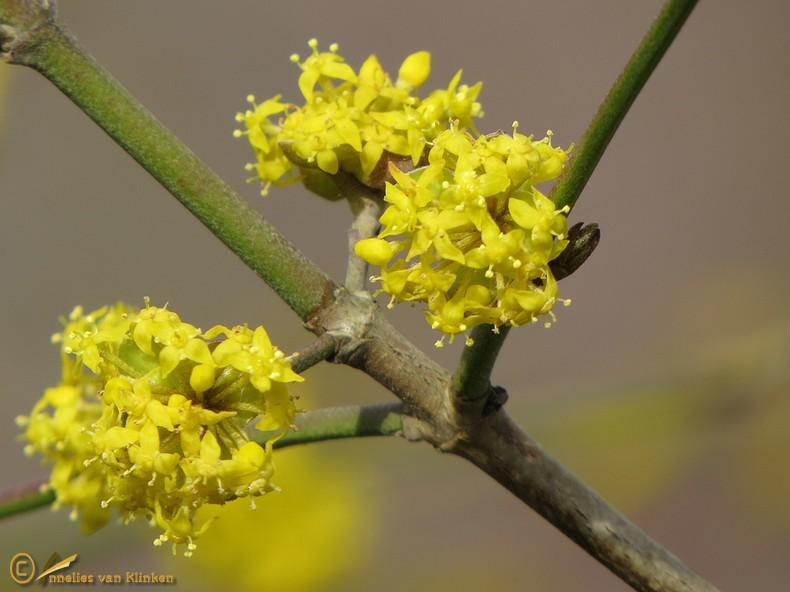 Gele kornoelje – Cornus mas