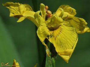 Gele lis - Iris pseudacorus