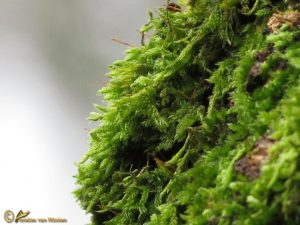 Gesnaveld Klauwtjesmos - Hypnum cupressiforme