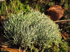 Gevorkt Heidestaartje - Cladonia furcata