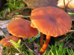 Gewone fopzwam sl, incl. Schubbige, Tweekleurige, Kleine fopzwam - Laccaria laccata sl, incl. proxima, bicolor, pumila
