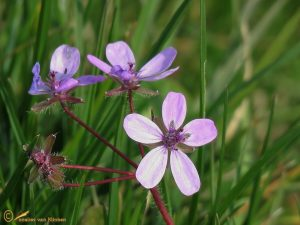 Gewone reigersbek - Erodium cicutarium subsp. cicutarium