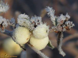 Gewone sneeuwbes - Symphoricarpos albus
