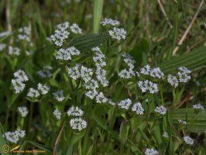 Gewone veldsla - Valerianella locusta