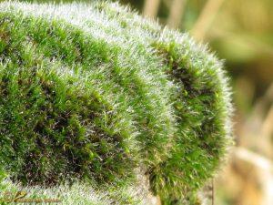 Gewoon Muisjesmos - Grimmia pulvinata