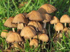 Glimmerinktzwam s.l. – Coprinus micaceus sl incl. pallidissimus truncorum