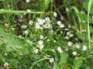 Grasmuur - Stellaria graminea