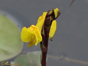 Groot blaasjeskruid - Utricularia vulgaris