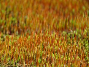 Haarmos onbekend - Polytrichum spec