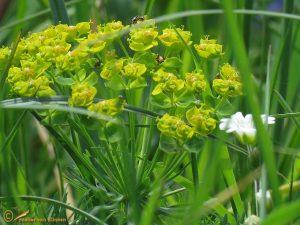 Heksenmelk - Euphorbia esula