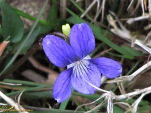 Hondsviooltje - Viola canina