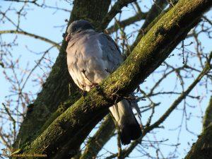 Houtduif – Columba palumbus