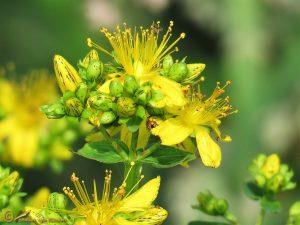 Kantig hertshooi - Hypericum maculatum